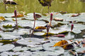 Lotus flowers on water Royalty Free Stock Photo