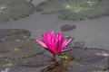 Lotus and green frog waterlily flower in a pond Stock Photography