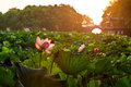 Lotus in july hangzhou west lake blooming in the morning china Royalty Free Stock Images