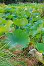 Lotus Landscape Pond Royalty Free Stock Photo