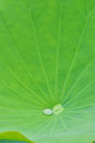 Lotus leaf with drop of water a on the Stock Images