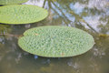 Lotus leaf floating in the pool. Royalty Free Stock Photo
