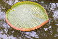 Lotus leaf in a pool in nature Royalty Free Stock Photo