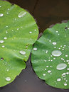 Lotus leaf after the rain hold water droplets on a Stock Photography