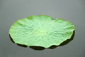 Lotus leaf in the water Stock Photography