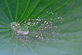 Lotus leaf with water drop Royalty Free Stock Photo