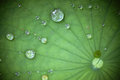 Lotus Leaf With Water Drop