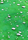 The lotus leave and raindrops Royalty Free Stock Photos