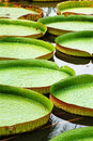Lotus leaves Royalty Free Stock Photo