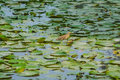 Lotus leaves and bird on the pond in rama garden bangkok thailand Royalty Free Stock Image