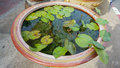 Lotus leaves in the water basin Royalty Free Stock Photo