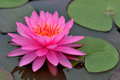 Lotus the pink a flower of thailand Royalty Free Stock Photography