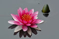 Lotus a pink flowers on water Stock Image
