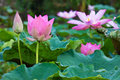 Lotus a pink in plant Royalty Free Stock Photography