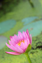 Lotus pink purple in the nature Royalty Free Stock Images