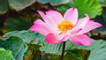 Lotus pink water lilly detail of a beautiful water lotos in bloom Stock Images