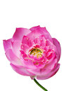 Lotus pink water lily flower lotus and white background artificial is a important symbol in asian culture clipping path Stock Photography
