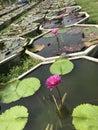 Lotus plant pots.