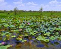 Lotus plants in flower Royalty Free Stock Photo