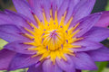 The lotus pollen blossom shot of yellow on purple Royalty Free Stock Photo