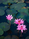 Lotus Pond Royalty Free Stock Images