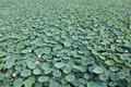 Lotus pond the background of Royalty Free Stock Image