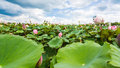 Lotus in a pond on blue sky and cloud background landscape Royalty Free Stock Photo