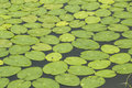 Lotus pond duckweed is a common aquatic plants it can not only beautify the environment is also very good fish feed summer calm in Royalty Free Stock Photos