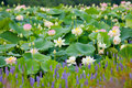 Lotus pond filled with sacred nelumbo nucifera Royalty Free Stock Image