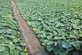 Lotus pond the path across Stock Photos