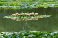 Lotus pond the water lilies are blooming in lake Royalty Free Stock Photo