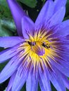 Lotus purple with bee flower animal nature pond Stock Images