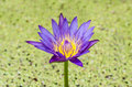 Lotus a purple in to the jar filled lemna perpusilla Royalty Free Stock Photo
