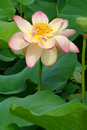 Lotus with Raindrops Royalty Free Stock Photo