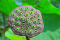 Lotus seed Stock Photos