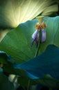 Lotus seed flower bud core Stock Photos