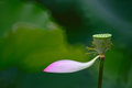 Lotus seed with last lotus flower petal Royalty Free Stock Photo