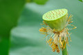 Lotus seed pod with green leaves Royalty Free Stock Photo