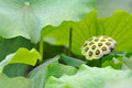 Lotus seed pod with green leaves Royalty Free Stock Image