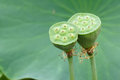 Lotus seedpod Royalty Free Stock Photo