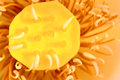 Lotus seedpod Royalty Free Stock Photo