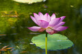 Lotus in summer Royalty Free Stock Photo