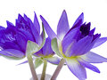 Lotus the three violet water lilies are decorating in a vase Royalty Free Stock Photo