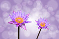 Lotus or water lily flower on bokeh background with clipping path Stock Image