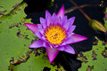 Lotus or water lily flower in the pond Royalty Free Stock Images