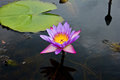 Lotus or water lily flower in the pond Royalty Free Stock Photos