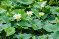 Lotus and water lily flowers in a pond Royalty Free Stock Photo