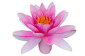 Lotus water lily isolated with clipping path white background Royalty Free Stock Photo