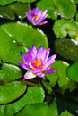 Lotus water lily lake of tieling,china Stock Image
