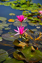 Lotus water lily lake of tieling,china Royalty Free Stock Image